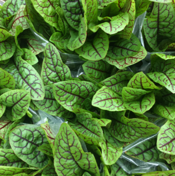 Young Red Vein Sorrel