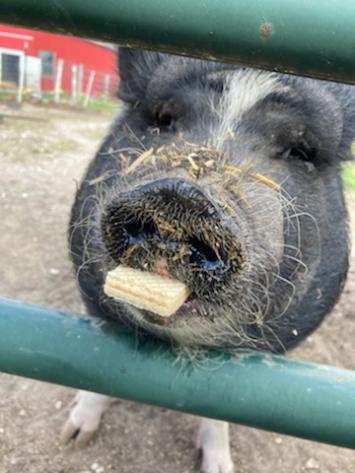 Give A Pig A Cookie - Daisy's Farm Friends Sanctuary