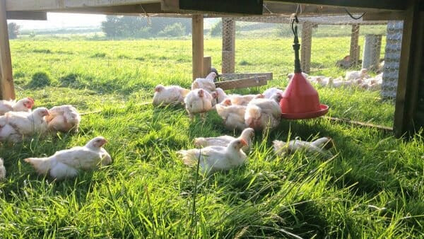Soy-Free Pastured Poultry