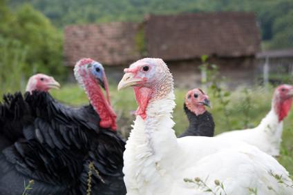 Soy-Free Pastured Turkey