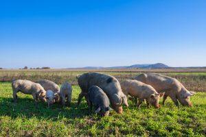 Soy-Free Pastured Pork