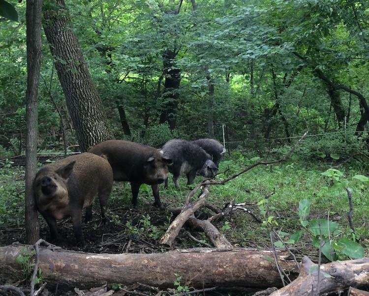 Pasture & Woodland Raised Pork