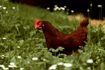 Pastured Spent Hens