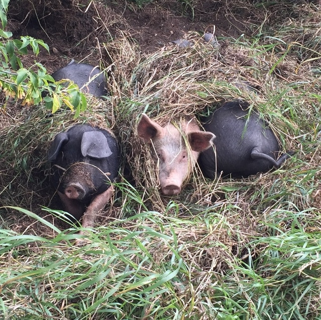 Pigs keeping cool