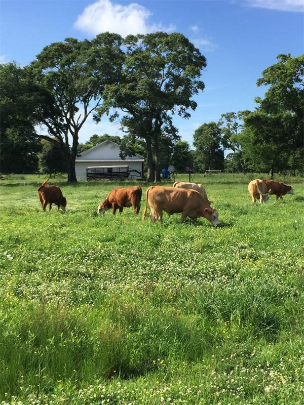 cows-gtazing-1.jpg