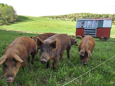 Cairncrest Farm pigs