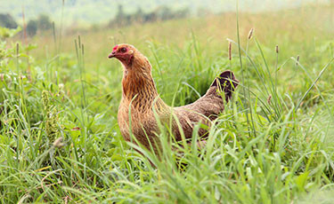 One of our pastured chickens