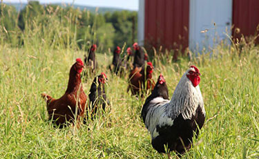 Many of our pastured chickens
