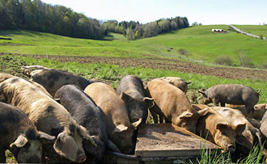 Cairncrest Farm pigs eating