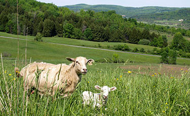 Lamb on our grass