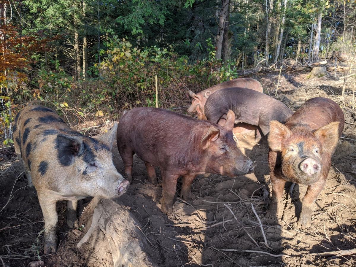 Pigwoods2.jpg