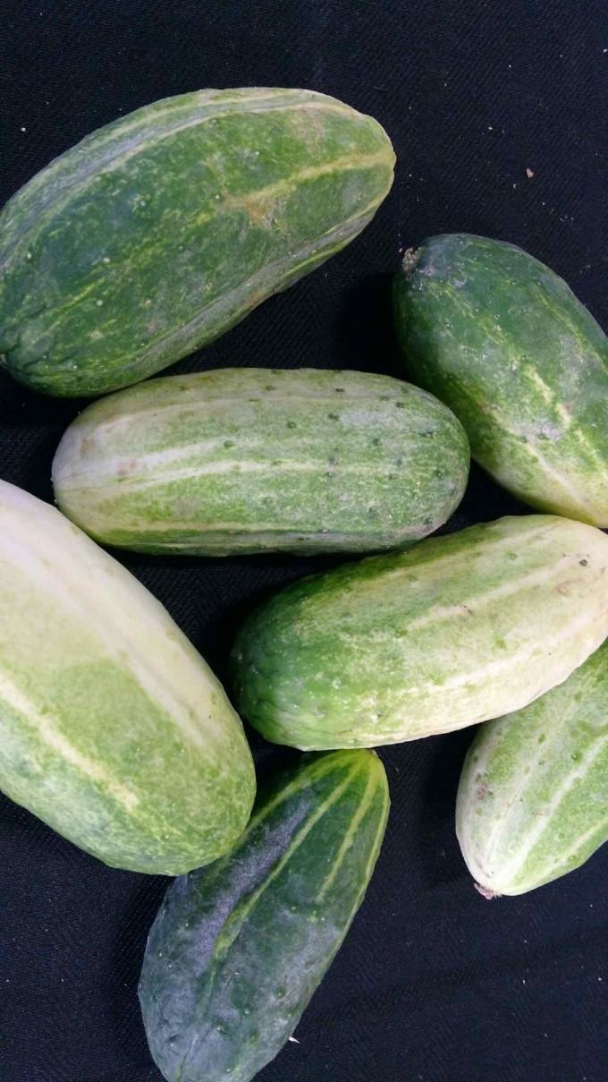 Cucumbers - fresh picked