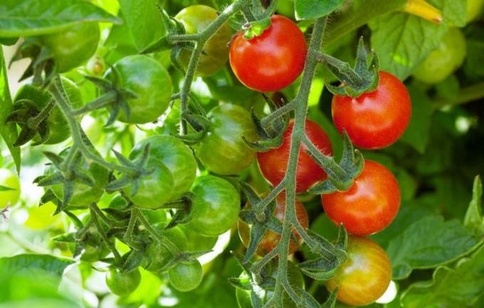 Cherry Tomatoes - Rowland Row Farms