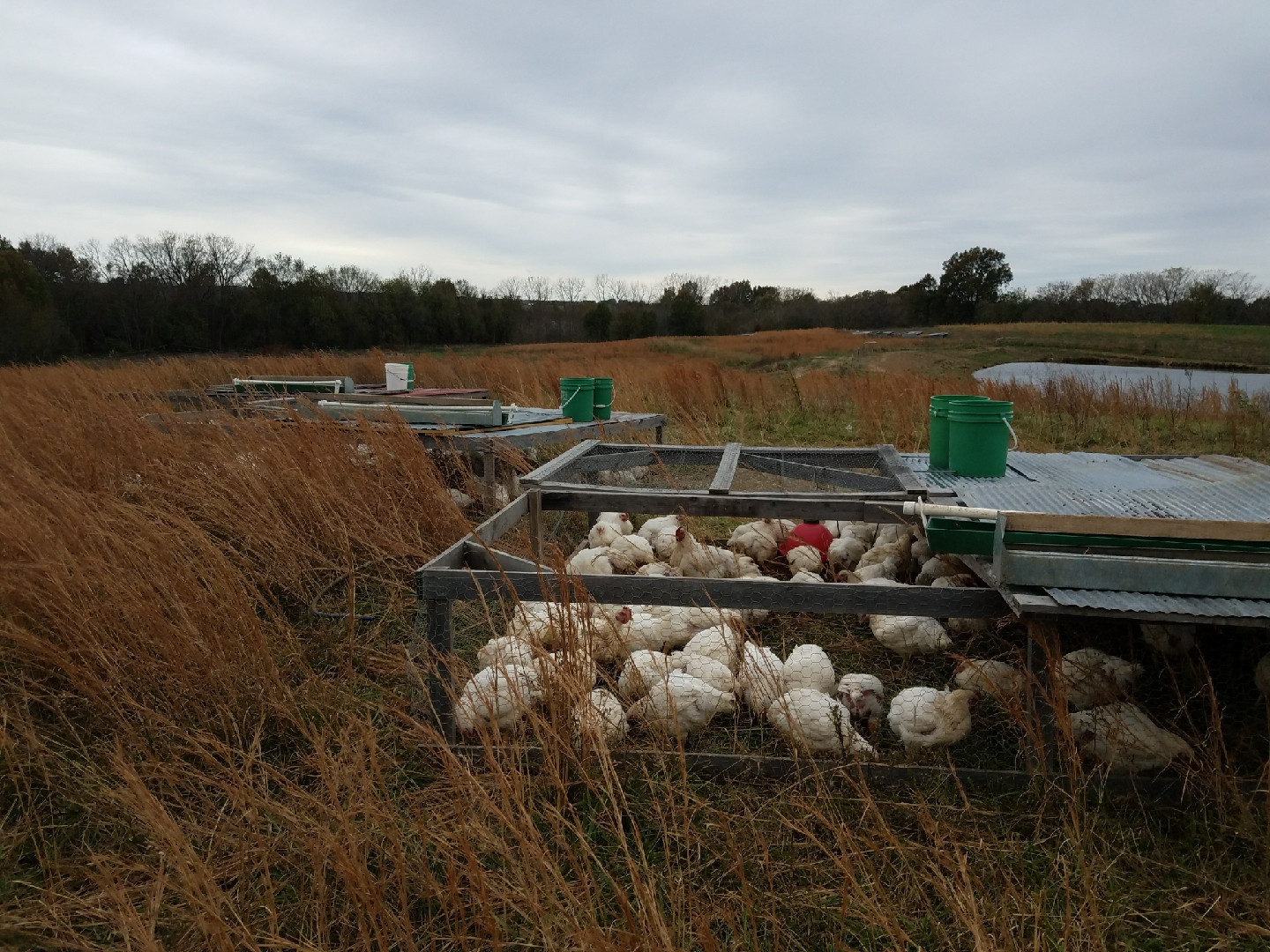 "Pasture Raised Broilers in Salatin style ""chicken tractors."""