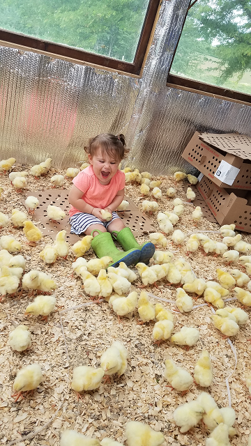 Reagan is ecstatic about these day-old broiler chicks!