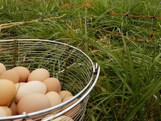 Chicken Eggs - Dozen-and-a-half