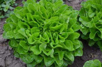 Green Oak Leaf Head Lettuce