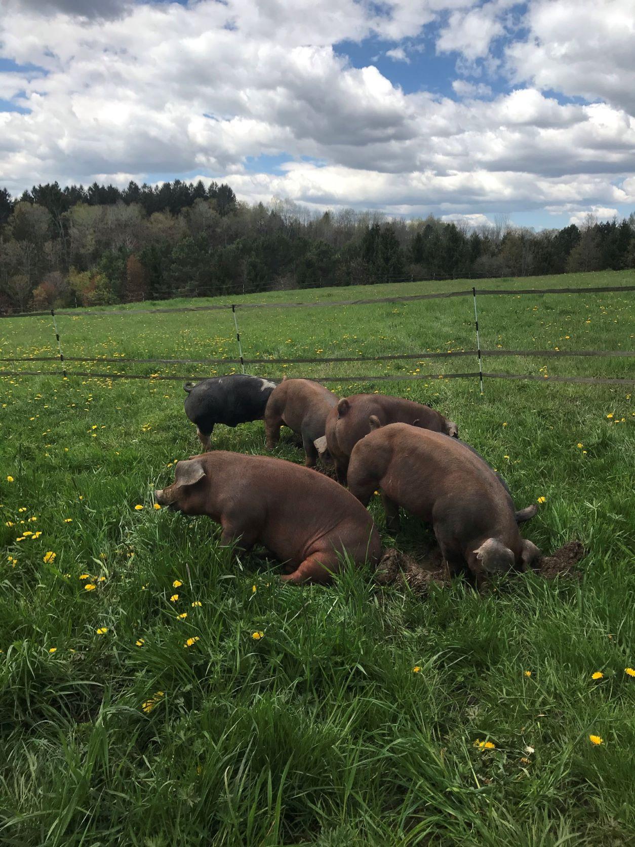 Strolling Pigs