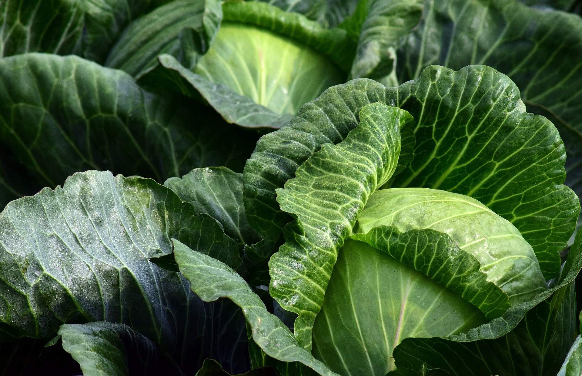 Caesar Cabbage Salad