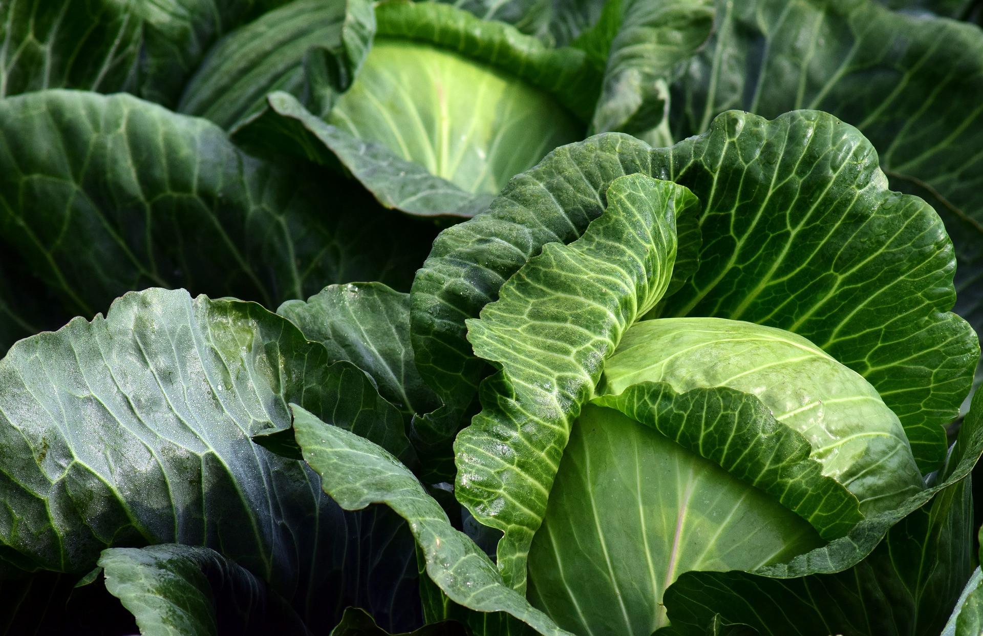 Caesar Cabbage Salad