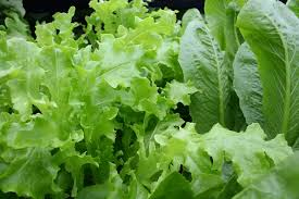 Lettuce Greens (Young)