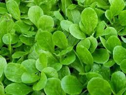 Fresh Greens (Mache)