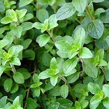 Fresh Herbs (Oregano)