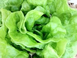 Butterhead Lettuce (Green)