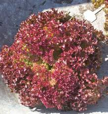 Red Lettuce Head (Fossey)