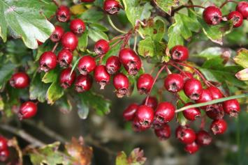 Hawthorn Berry Syrup - 8oz