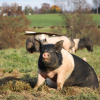 Why You Need to Buy Pasture-Raised Pork