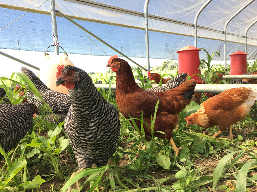 Chickens foraging in hoop house