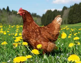 Adopt a hen!