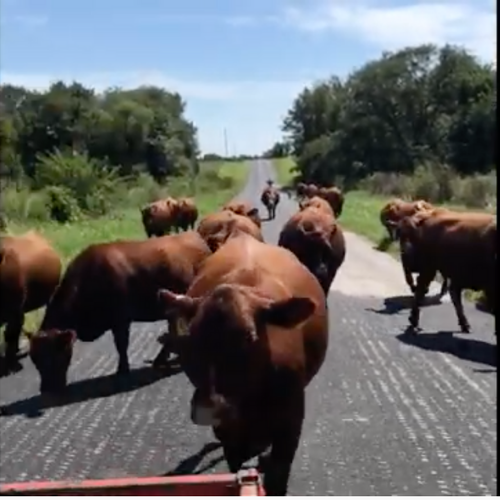 Cows Out For A Stroll
