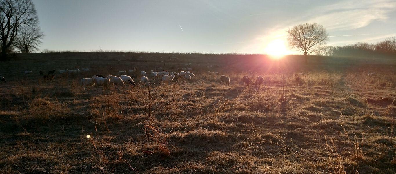 Sheep Grazing In Winter