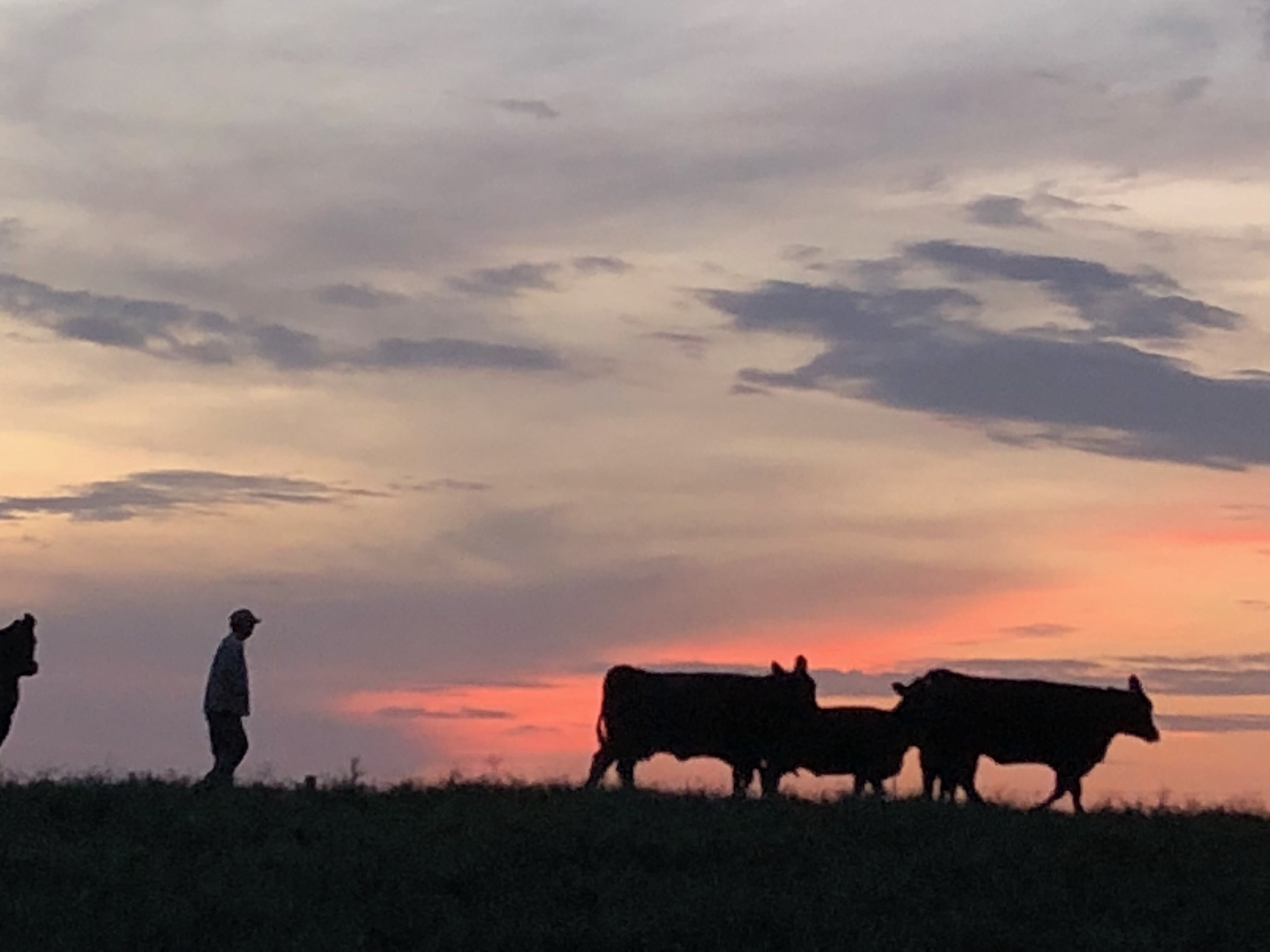 Dave moving some mother cows at sunset
