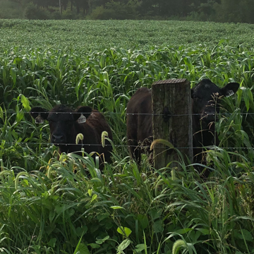 Sorghum Sudangrass Grazing