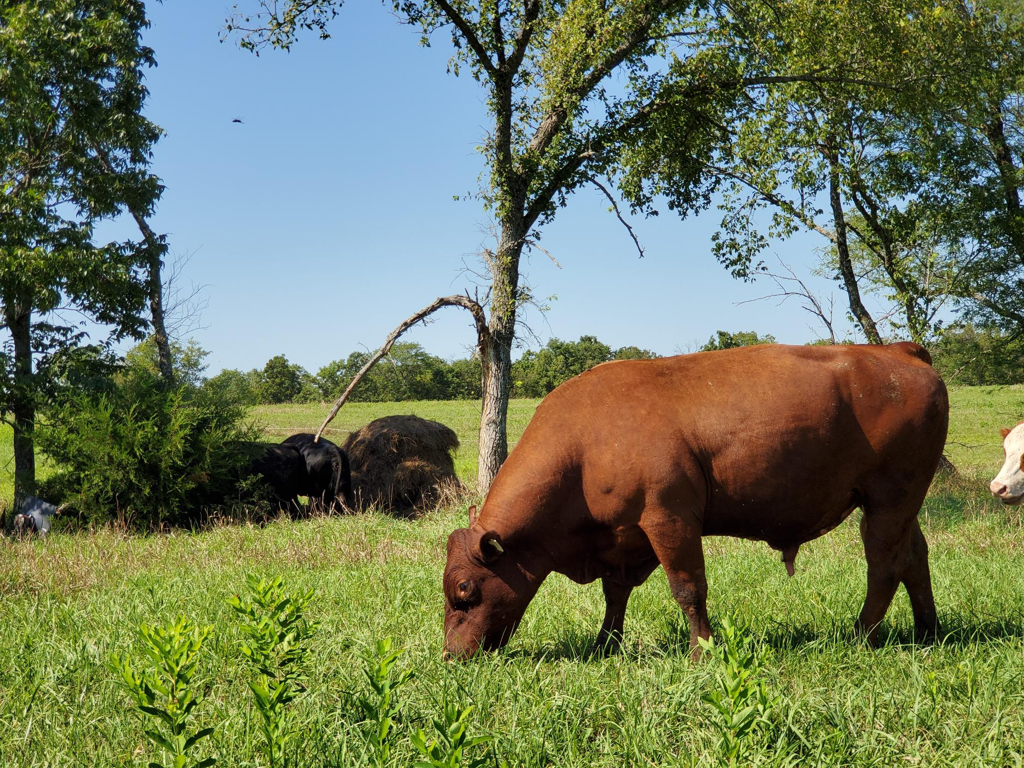 South Poll Cattle