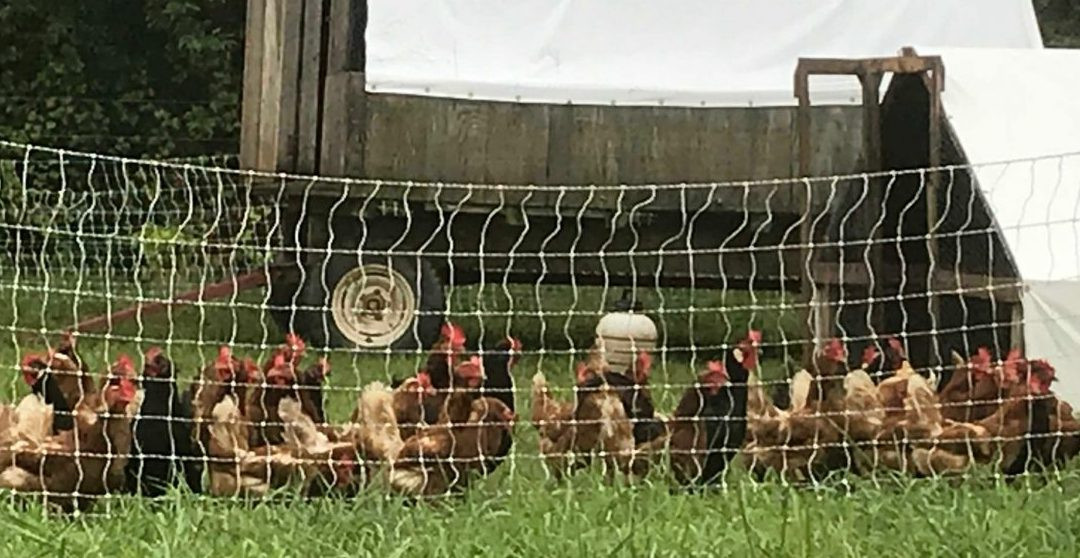 Why Rotating Chickens = BETTER Pastured Eggs