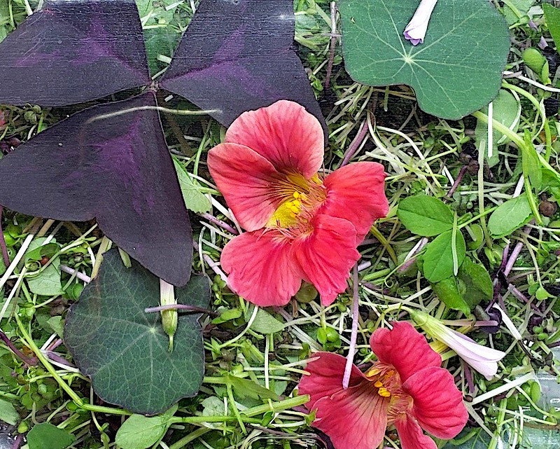 Sowing Seeds - Spicy Salad Mix