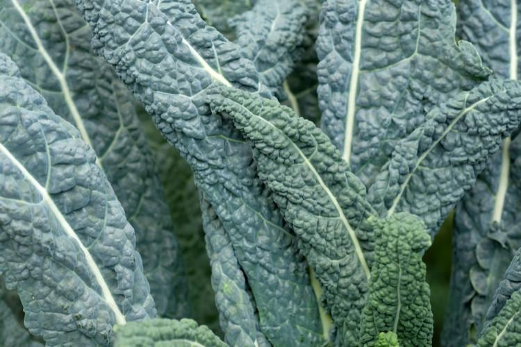 Kale, Toscana - Bulk - 2.5 lbs