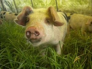 Pork is BACK! 6/17/16