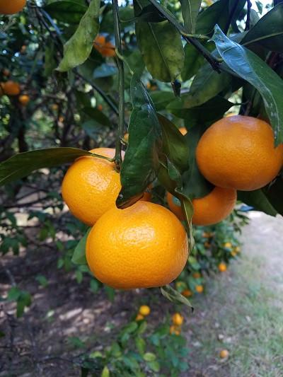 Satsuma Mandarins 1/4 bu bag