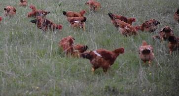 5 PK Whole Chicken, Red Broiler-FCF Non-GMO Bundle