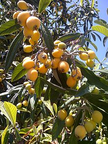 Loquats (Japanese Plums)