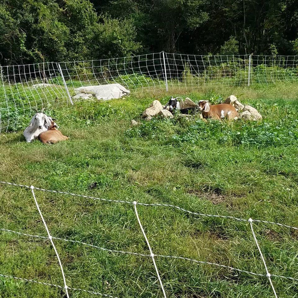 Grassfed goats