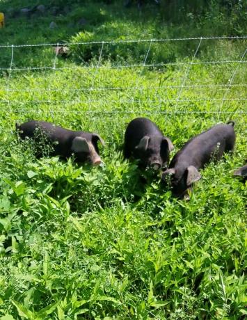 Whole pig - Deposit