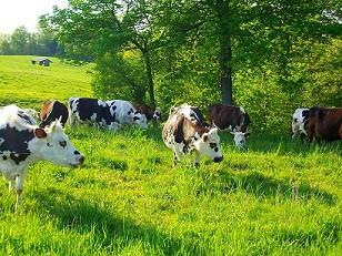Cows-small.jpg