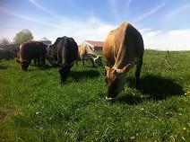 small-cows.jpg