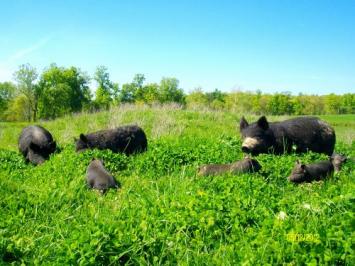 Pork - 1/4 Hog Bundle